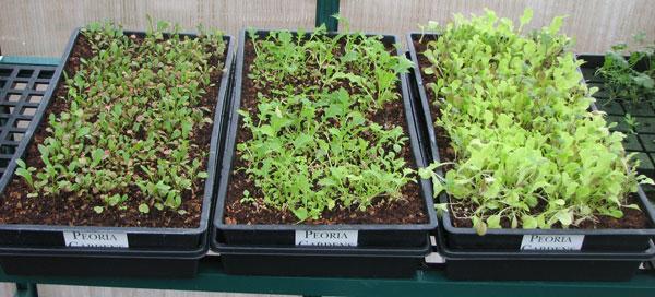 lettuce-in-trays