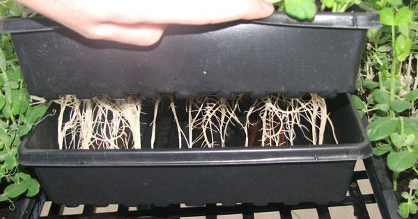 pea-shoots-roots